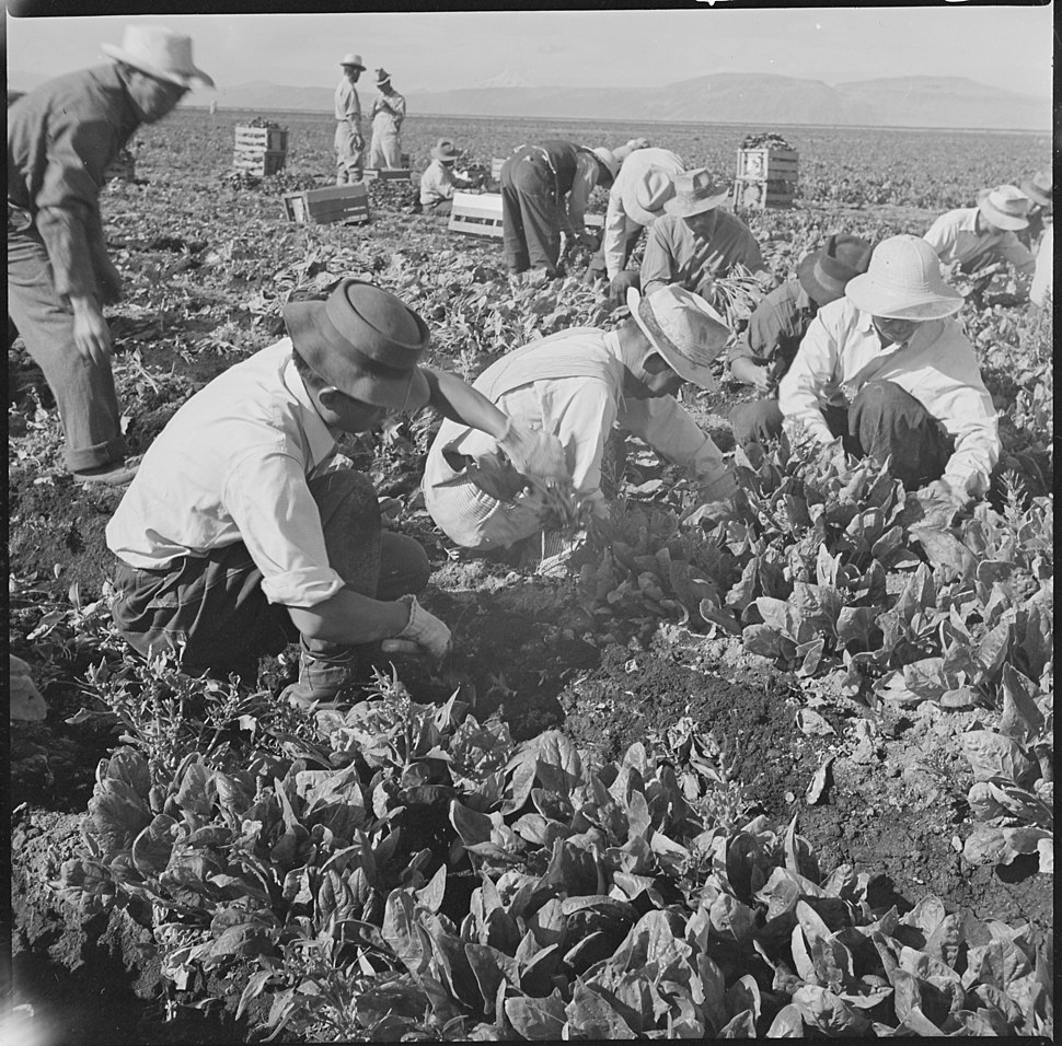 Tule Lake Relocation Center, Newell, California. Harvesting spinach. - NARA - 538316