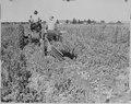 Tule Lake Relocation Center, Tule Lake California. Potato digger operating at Hatfield, California, . . . - NARA - 536221.tif