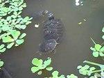 File:Turtles in Atocha garden (Madrid) 01.ogv