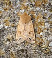 Twin-spotted Quaker (26365643237).jpg