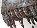 Tyrannosaurus rex (theropod dinosaur) (Hell Creek Formation, Upper Cretaceous; near Faith, South Dakota, USA) 25.jpg