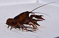 UMFS crayfish 2015 3.JPG