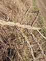 Ulmus minor (subsp. minor) sl23.jpg