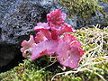 Umbilicus rupestris (Habitus).jpg