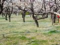 Ume Garden in the Kyōdo-no-mori Park 20130310-7.jpg
