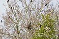 Un groupe de corbeaux freux juvéniles dans un arbre (1).JPG