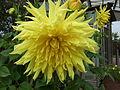 Unidentified Dahlia 2007 10010270.jpg