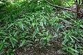 Unidentified variegated 8-5-9-001.JPG