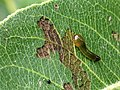 Up Close View of a Pear Slug (Caliroa cerasi) Larva on a Pear Tree.jpg