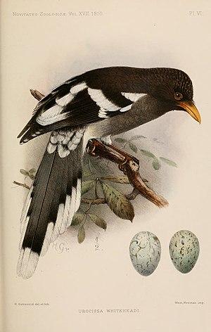 White-winged magpie - Image: Urocissa whiteheadi illustration