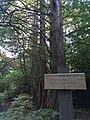 Urweltmammutbäume Zingst.jpg