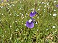 Utricularia purpurascens (1653950192).jpg
