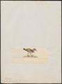 Vanellus ptiloscelis - 1820-1860 - Print - Iconographia Zoologica - Special Collections University of Amsterdam - UBA01 IZ17200123.tif