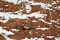 Varied Thrush (Ixoreus naevius) (5634529999).jpg