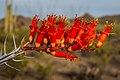 Vartious cactus flowers in Saguaro Nat. Monument near Tuscon, Ariz. (7334035210).jpg
