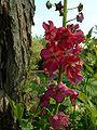 Verbascum phoeniceum2.jpg