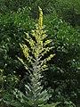 Verbascum pulverulentum 4 RF.jpg
