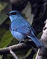 Verditer Flycatcher Eumyias thalassinus DSCN6459 (1).jpg