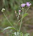 Vernonia cinerea (Ash Fleabane) in Talakona forest, AP W IMG 8553.jpg