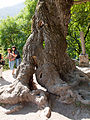 Very old tree at Haghartsin Monastry (5062808595).jpg