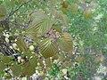Viburnum betulifolium 2017-04-17 7475.jpg