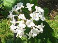 Viburnum carlesii var. bitchiuense 2.JPG