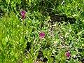Vicia pyrenaica 1.jpg