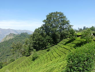 Idukki district - Tea plantations in Munnar
