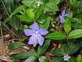 Vinca minor close-up.jpg