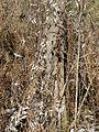 Vincetoxicum rossicum SCA-02736.jpg