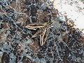 Vine Hawk-Moth (Hippotion celerio) - 03.jpg