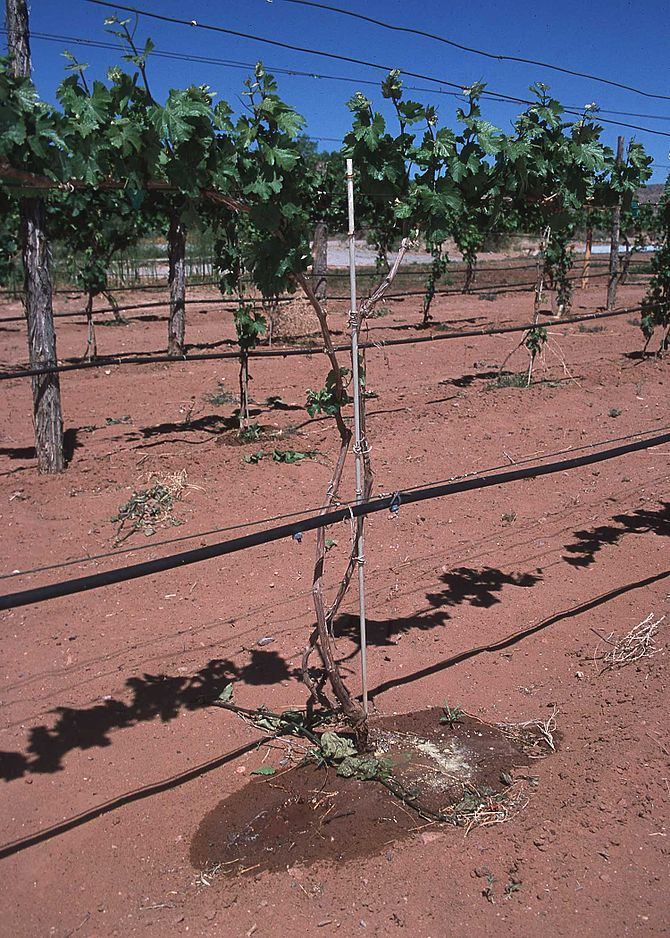 Drip irrigation in New Mexico vineyard, 2002