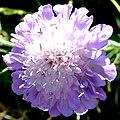 Violett (Lila2) 8 Juni 2003.JPG