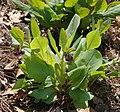 Virginia Bluebell Mertensia virginica Early Plant 2144px.jpg