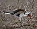 Von der Decken's Hornbill (Tockus deckeni) - Flickr - Lip Kee.jpg