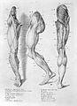 W. Cowper, Myotomia reformata Wellcome L0024329.jpg