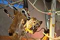 WLANL - thedogg - Jachtscene gazelle met cheeta (2).jpg