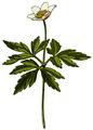 WWB-0017-003-Anemone nemorosa-crop.png