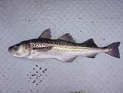 http://upload.wikimedia.org/wikipedia/commons/thumb/6/6b/Walleye_pollock.jpg/250px-Walleye_pollock.jpg