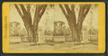 Washington elm, Cambridge, from Robert N. Dennis collection of stereoscopic views.png