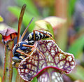 Wasp on a Sarracenia seedling (4994907994).jpg