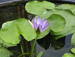 Water lily.jpg