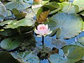 Water lily at the Pena Park (49837915408).jpg
