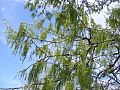 Weeping-Willow-Buds 30785-480x360 (4904582345).jpg
