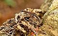 Western Ghat Worm Gecko.jpg