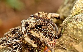 Description de l'image Western Ghat Worm Gecko.jpg.