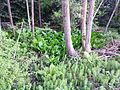 Western skunk cabbage and horsetails - Flickr - brewbooks.jpg