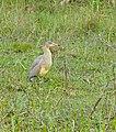Whistling Heron (Syrigma sibilatrix) (29005350671).jpg