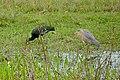 Whistling Heron (Syrigma sibilatrix) and Green Ibis (Mesembrinibis cayennensis) (28976656952).jpg