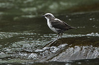 White-capped Dipper - Colombia S4E0638 (16432276063).jpg
